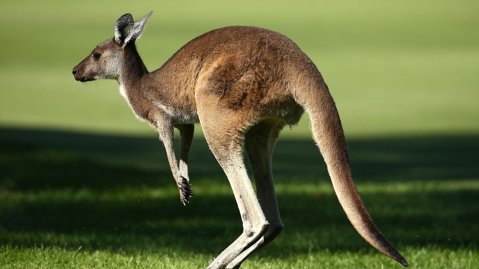 Aussie golfer expertly navigates mob of kangaroos on course | Yardbarker.com